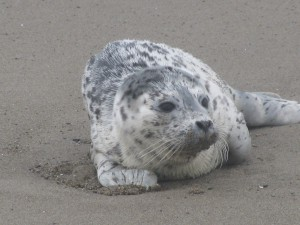 Baby seal spotted at Gleneden Beach on the Oregon coast.