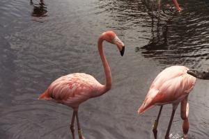 Pink Flamingos at Ixpu Ha', Mexico