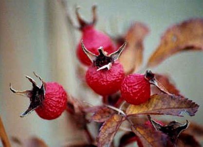 Fall Rosehips, Turtle River State Park, North Dakota, 2005