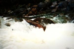 Fall Salmon Run, Eagle Creek, Oregon, 2002
