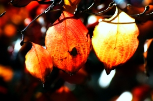 Glowing Leaves, Fall 2009