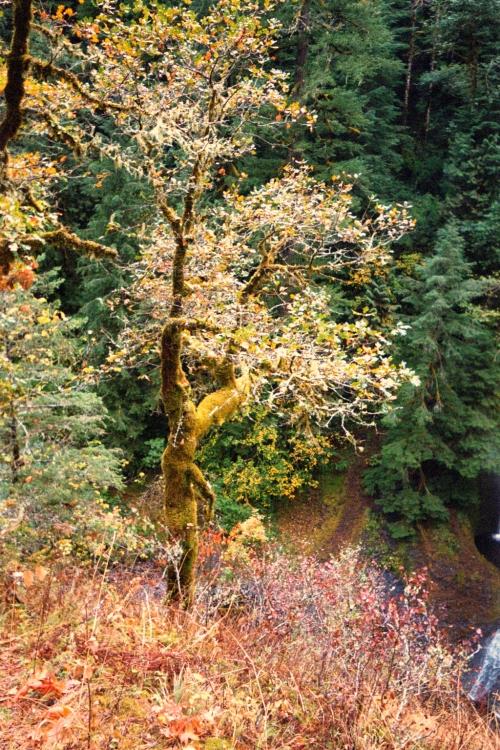 Mossy Tree On Eagle Creek Trail, 2002