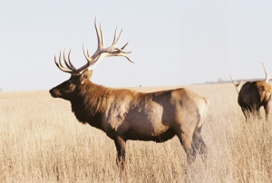 North Dakota Roosevelt Elk