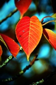 Fall Leaf in Howard Amon Park, Fall 2009