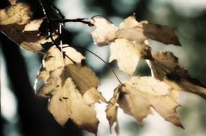 Glowing Fall Leaves, Howard Amon Park, Richland, Washington