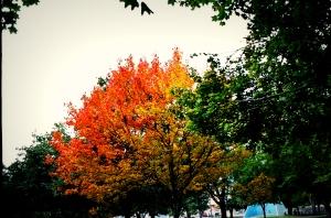 Lone Tree In Fall Colors, Howard Amon Park, Fall 2009