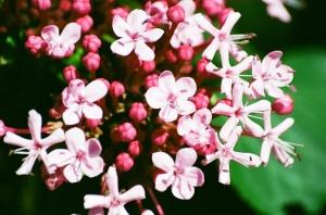 Pink Buds and Flowers, Bush Garden House, Salem, Oregon, 2009