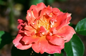 Orange Rose in Full Bloom, Bush House Gardens, Salem, Oregon, 2009