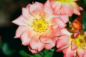 Pink Rose, Bush House Gardens, Salem, Oregon, 2009