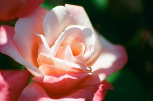 Pink and White Rose, Bush House Gardens, Salem, Oregon, 2009