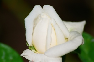 White Rose Bud, Bush House Gardens, Salem, Oregon, 2009