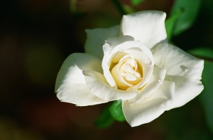 White Rose, Bush House Gardens, Salem, Oregon, 2009