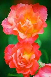 Pink & Yellow Roses, Bush House Gardens, Salem, Oregon, 2009