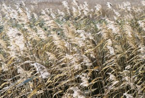 Prairie Grass in the Wind, North Dakota, 2005