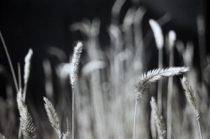 Wheat Heads in the Park, Howard Amon Park, Richland, Washington, Fall 2009