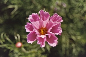 Pink Flower, Washington State Capitol Grounds, 2003