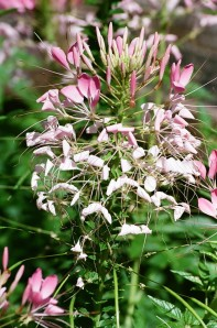 Flowering Plant, Bush House Gardens, Salem, Oregon, Summer 2009