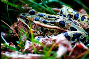 Frog in the Grass, Turtle River State Park, ND, Fall 2005