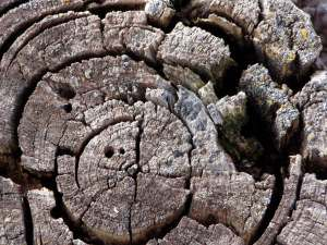 Tree Stump Close-up, Turtle River, ND, Fall 2005