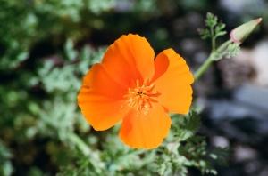 Golden Poppy Flower, Spring 2009