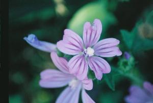 Unknown Purple Flower, June 2007