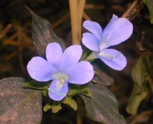 Blue Flowers in Vishakapatnam, India (2008)