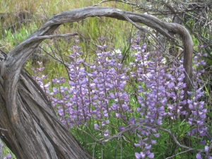 Purple Lupine Under Old Sage, April 2010