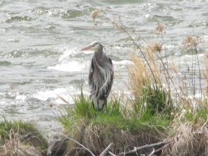 Blue Heron on the Deschutes River, April 2010
