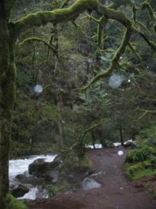 Moss Covered Tree on Multnomah Creek Above Multnomah Falls, Spring 2010