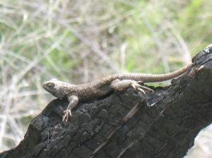 Lizard On Burnt Stump, Deschutes River Trail, April 2010