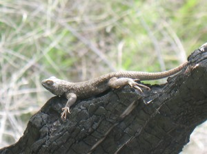 Lizard On Burnt Stump, Deschutes River Trail, April 2010