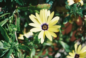 Yellow Flower, June 2007