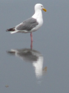 Seagull Reflections, Long Beach Peninsula, Fall 2009