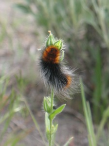 Hairy Catepillar, Deschutes River Trail, Oregon, April 2010
