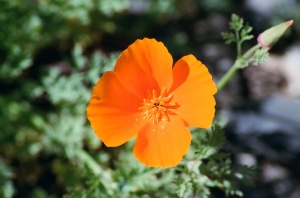 California Poppies, Spring 2009