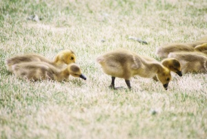 Canadian Geese Goslings, June 2008