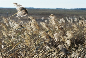 Tall Prairie Grass In the Wind, Grand Forks, North Dakota