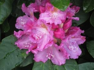 Pink Rhododendrun Flowers, Spring 2010