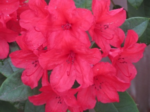 Red Rhododendrun Flowers, Spring 2010