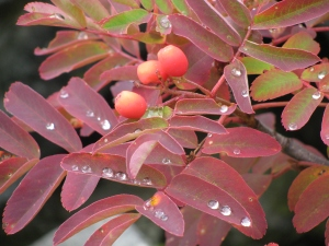 Fall Berries and Raindrops, September 2010