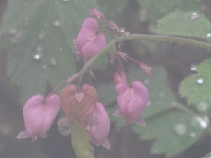 Bleeding Heart Flowers in the Mist, September 2010