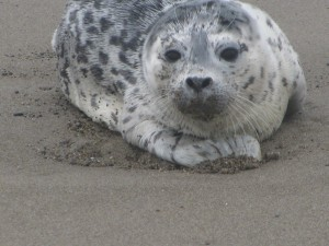 Baby Seal On the Beach, Lincoln City, Oregon, Summer 2009
