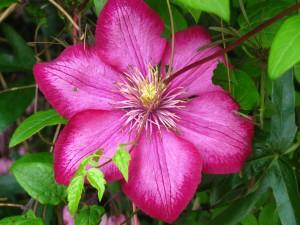 Pink Wild Flower, Summer 2009