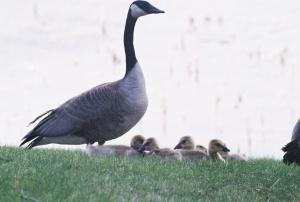 Mother Goose, Winnipeg, Spring 2008