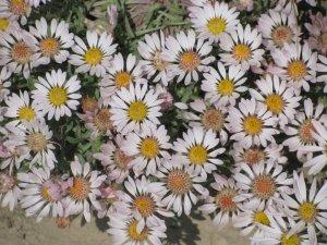 Badger Mountain, Tri-Cities, WA, Flowers