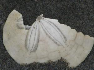 Broken Sand Dollar