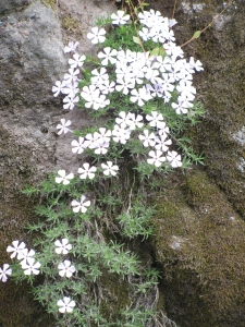 White Mountain Flowers Flowing Down Rocks