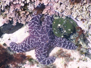 Purple Starfish in the Sun, May 2012